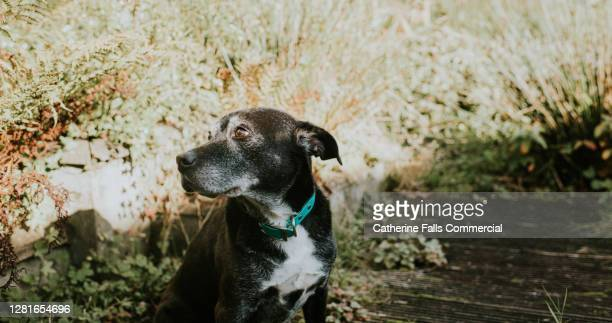 elderly dog in garden - snout stock pictures, royalty-free photos & images