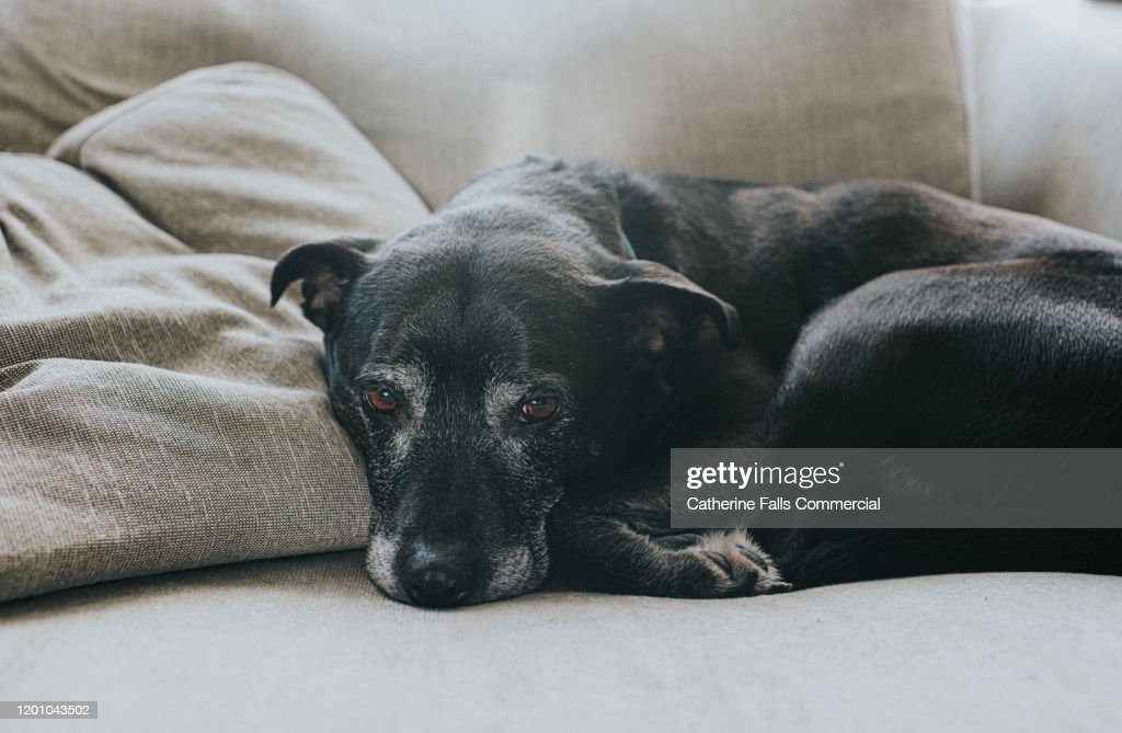 Elderly Dog : Stock Photo