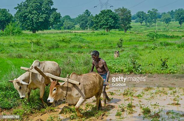 elderly farmer plowing cattles in farm land - tradition stock pictures, royalty-free photos & images