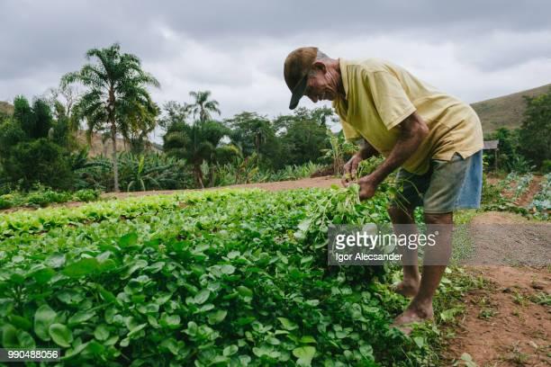 agricultor idoso que trabalham na plantação - colher atividade agrícola - fotografias e filmes do acervo