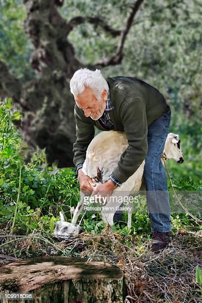 elderly man milking sheep - mann beim melken stock-fotos und bilder