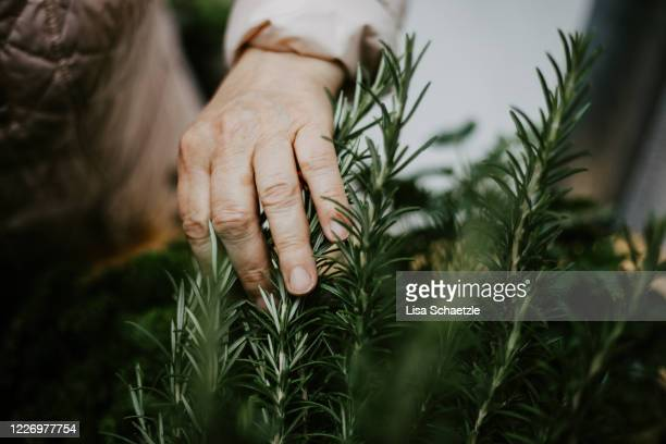 elderly woman touches and harvest the rosemary - farmer stock pictures, royalty-free photos & images