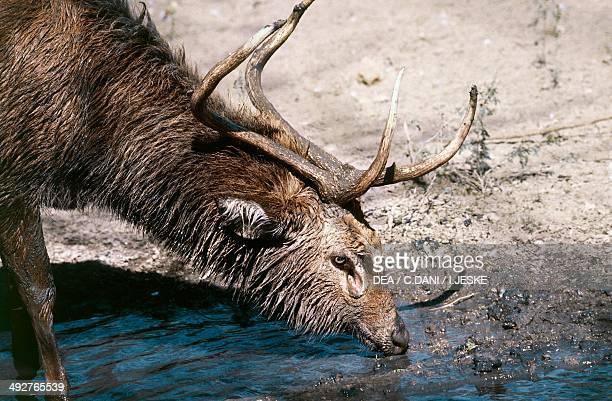 Eld's deer Cervidae