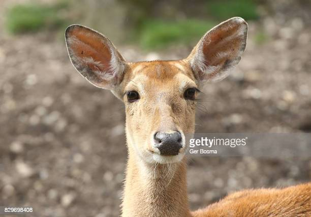 eld's deer doe portrait (panolia eldii) - biche photos et images de collection