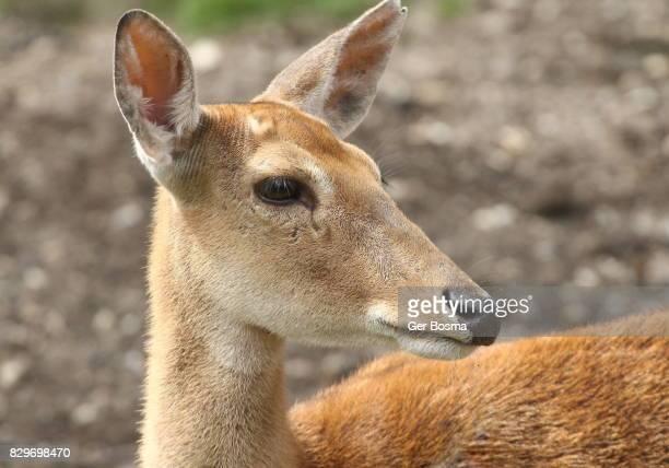 eld's deer doe portrait (panolia eldii) - biche photos et images de collection