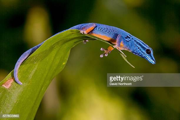 electric blue gecko male - geco foto e immagini stock