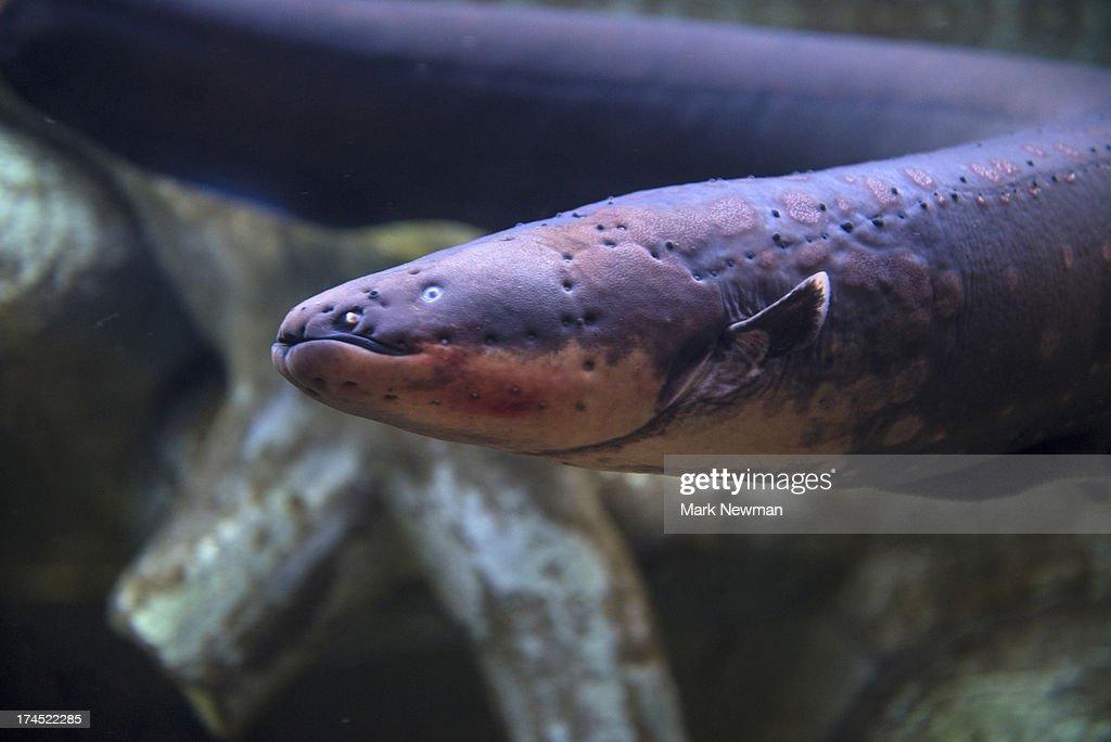 Electric Eel : Stock Photo