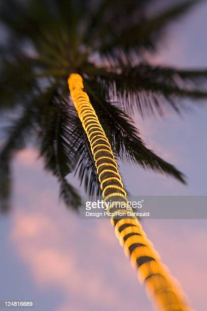 electric lights wrapped around palm tree trunk in the fading light of dusk. - hawaii christmas stock pictures, royalty-free photos & images
