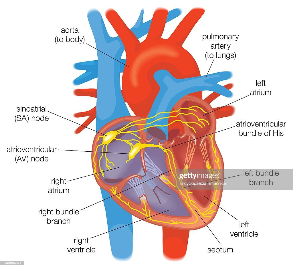 Electrical conduction in the heart in healthy individuals is electrical conduction in the heart in healthy individuals is controlled by pacemaker cells in the sinoatrial ccuart Image collections
