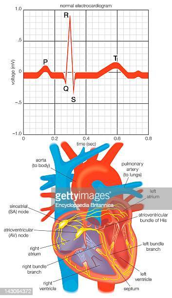 Electrocardiogram Of The Alternating Contractions During One Heartbeat And A Diagram Of The Heart'S ImpulseConducting System