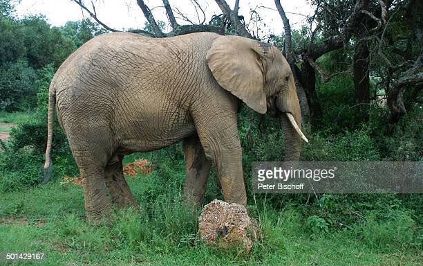 Elefant Glen Afric Country Lodge Hartbeespoort bei Pretoria Südafrika Afrika Tier Reise BB DIG PNr 240/2006