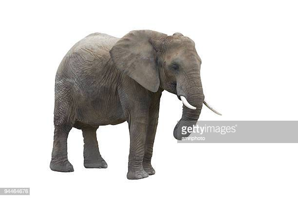 elefant isolated on white with clipping path - elephant stock pictures, royalty-free photos & images