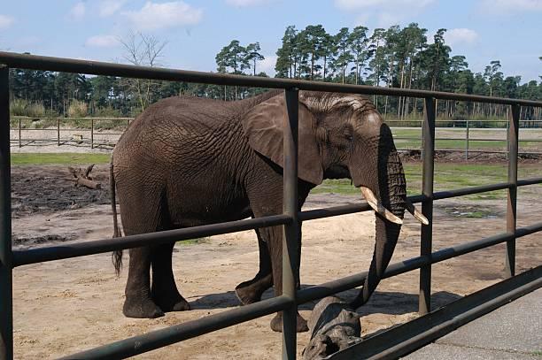 elefant serengeti park hodenhagen bei hannover niedersachse pictures getty images. Black Bedroom Furniture Sets. Home Design Ideas