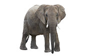 elefant with clipping path