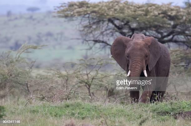elefante avanzando