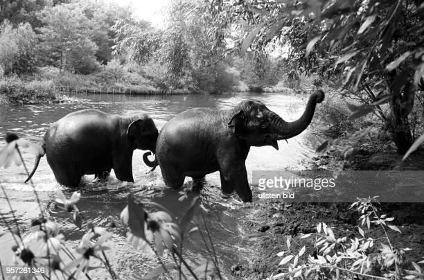 Elefanten aus dem Zoo Cottbus suchen Abkühlung im Wasser der nahegelegenen Spree, aufgenommen am . -