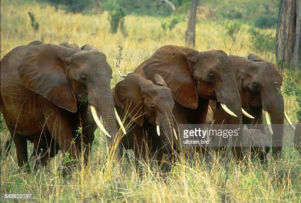 Elefanten im Tarangire National Park Tansania
