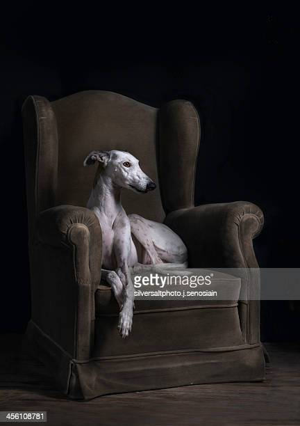 elegancia-ii - greyhound stock photos and pictures