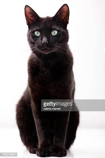 Elegant black cat
