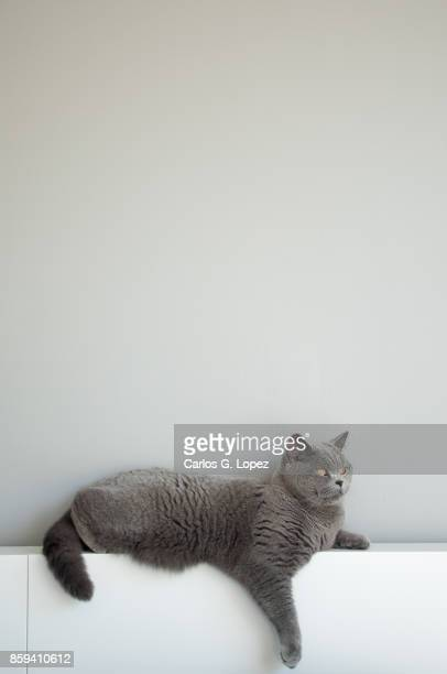 elegant british short hair cat resting on white bed headboard with paw hanging out - british shorthair cat stock pictures, royalty-free photos & images