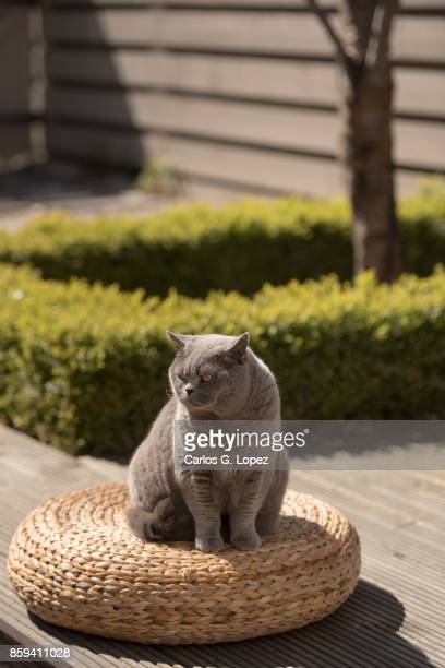 elegant british short hair cat sitting on wicker stool on zen garden - british shorthair cat stock pictures, royalty-free photos & images