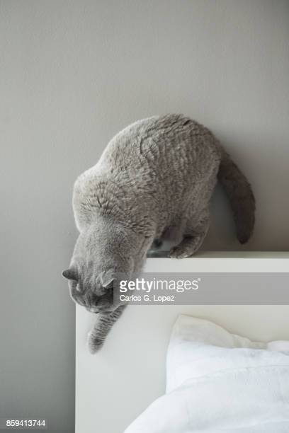 Elegant British Short Hair cat stepping down from bed headboard