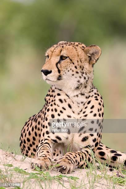 Elegante ghepardo