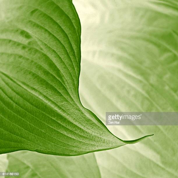 Elegant close-up of green Hosta leaves showing graceful lines in square format