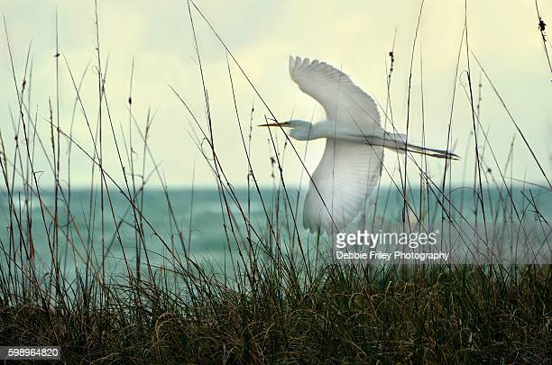elegant flying egret - st. petersburg florida stock photos and pictures