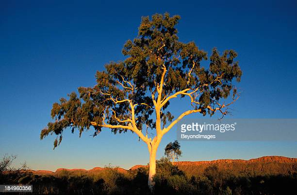 Elegant ghost gum dominates landscape at sunset