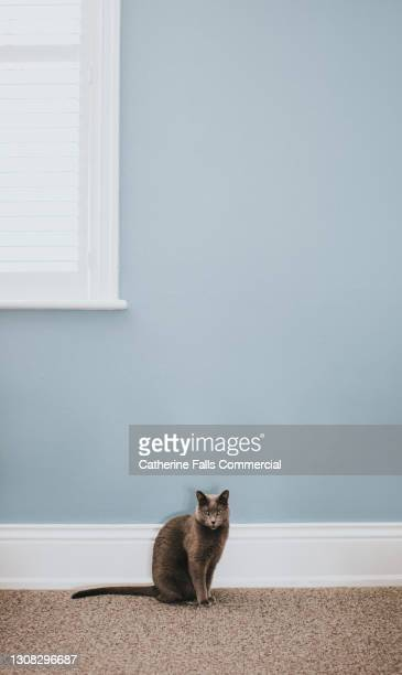 elegant grey cat sits beside a wide white skirting board in front of a dusky blue wall, below a window - pure bred cat stock pictures, royalty-free photos & images