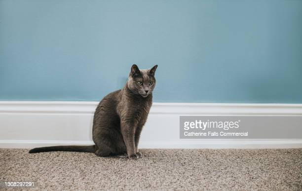 elegant grey cat sits beside a wide white skirting board in front of a dusky blue wall - pure bred cat stock pictures, royalty-free photos & images