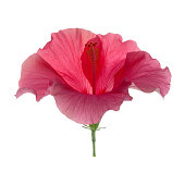 elegant pink hibiscus flower white background