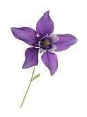single elegant purple aquilegia flower columbine