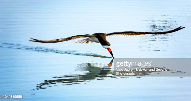 Elegant Skim of the Black Skimmer Over Blue Water at Nickerson, Long Island