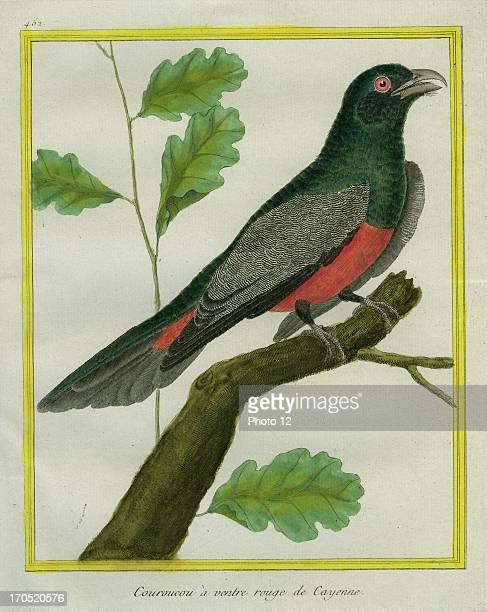 """Elegant Trogon, Trogon elegans,.Elegant Trogon.Georges-Louis Leclerc, Comte of Buffon. """"Natural History of birds, fish, insects; and reptiles"""",..."""