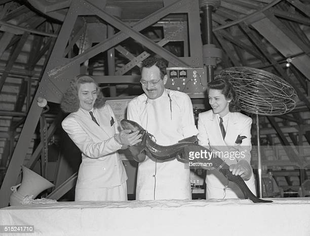 Elekra the electric eel demonstrates her natural energy at Ford Motor Company's Cycle of Production exhibit at the 1939 New York World's Fair She is...