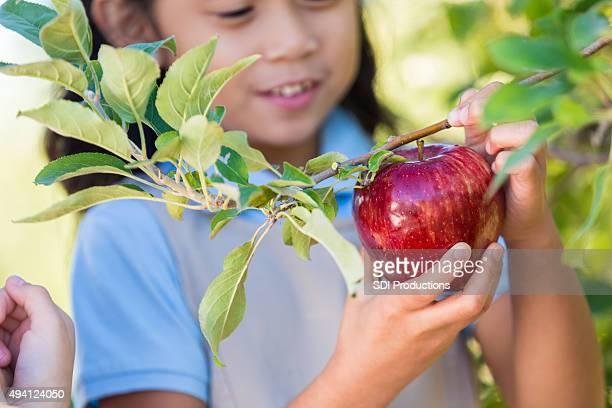 Elementary students picking red apples during field trip at orchard