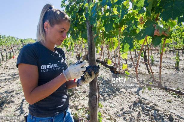 Elena Pellegrini harvests grapes to make Brunello wine in a vineyard on September 14 2017 in Montalcino Italy Brunello di Montalcino is one of...