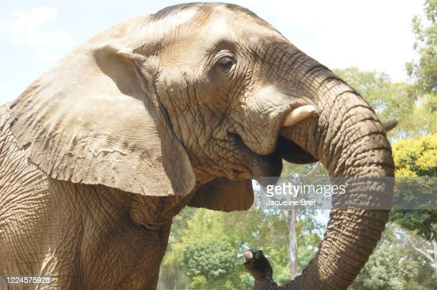 elephant 37 - briel stock pictures, royalty-free photos & images