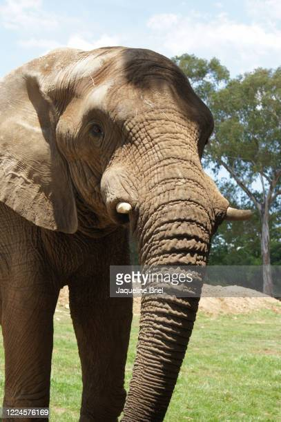 elephant 38 - briel stock pictures, royalty-free photos & images