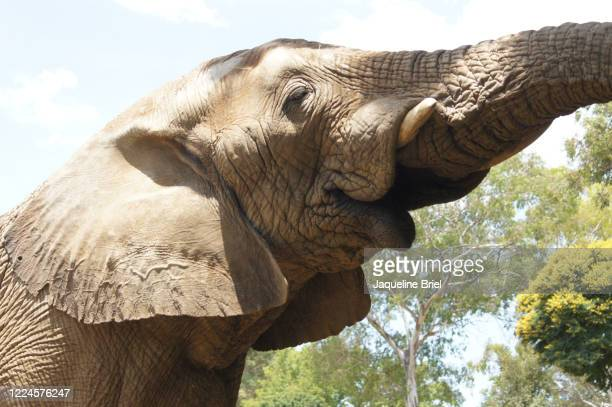 elephant 40 - briel stock pictures, royalty-free photos & images
