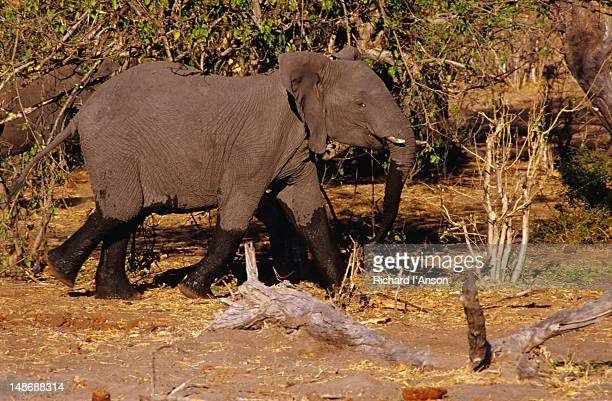 Elephant ( Loxodonta africana ) after walking through river in the Chobe National Park