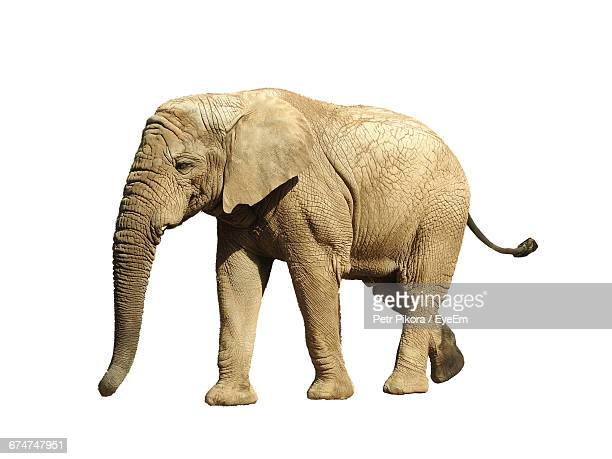 elephant against white background - elephant stock pictures, royalty-free photos & images