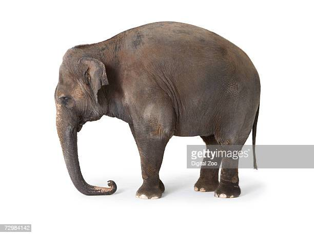 Elephant against white background