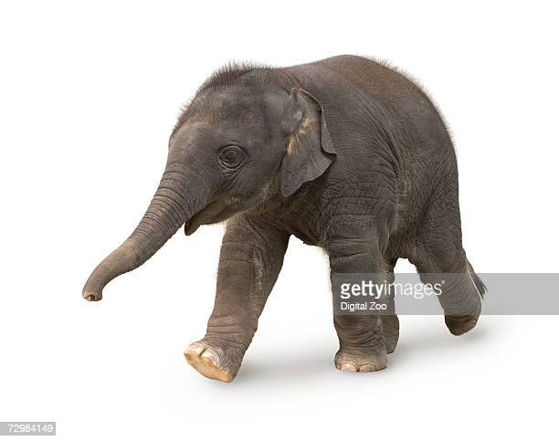 elephant against white background - young animal stock pictures, royalty-free photos & images