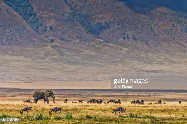 elephant amidst animal herd in ngorogor crater - ngorongoro conservation area stock pictures, royalty-free photos & images