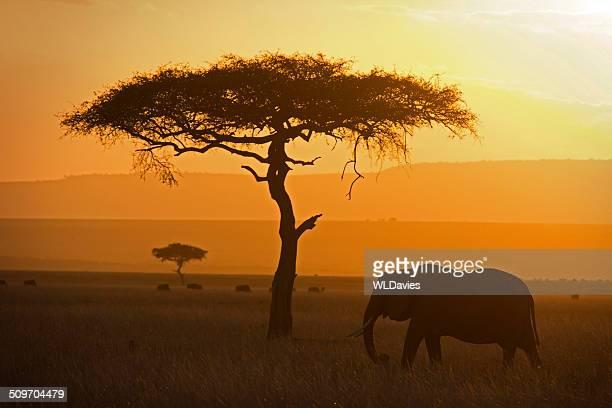 Elefante e acacia
