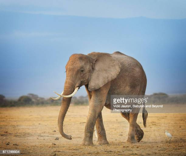 elephant and an egret at amboseli, kenya - one animal stock photos and pictures