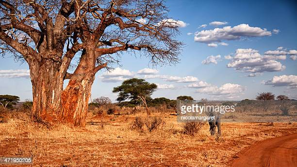 elephant and baobab tree in tanzania - tarangire national park stock pictures, royalty-free photos & images
